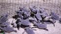 تولد دو هزار قطعه نوزاد لاک پشت پوزه عقابی در سواحل کیش