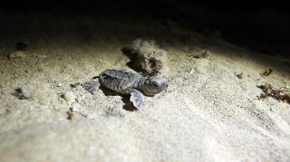 تولد نخستین نوزادان لاک پشت در سایت حفاظت شده جزیره کیش