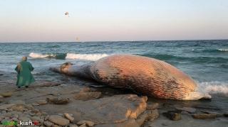 لاشه یک نهنگ به گل نشسته در سواحل کیش
