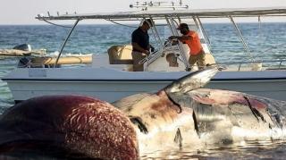 مشاهده دومین لاشه نهنگ در سواحل کیش